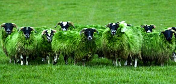 7777FLOCK OF SHEEP IN SCOTLAND GO GREEN pic 11 752x501